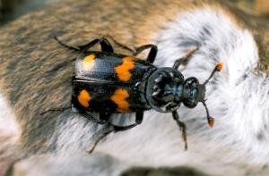 090507-01-burying-beetle-worst-animal-mothers_big